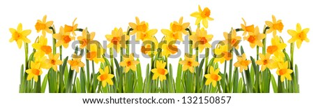 Bright yellow daffodils . Isolation. - stock photo