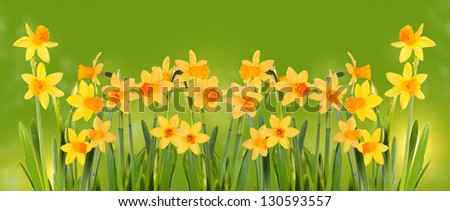 Bright yellow daffodils on a green background. - stock photo