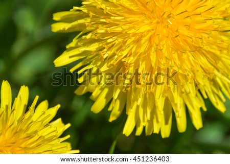 Bright yellow dandelion flowers for a background. - stock photo