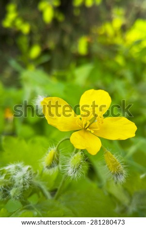 bright yellow flower in the grass in a city park - stock photo