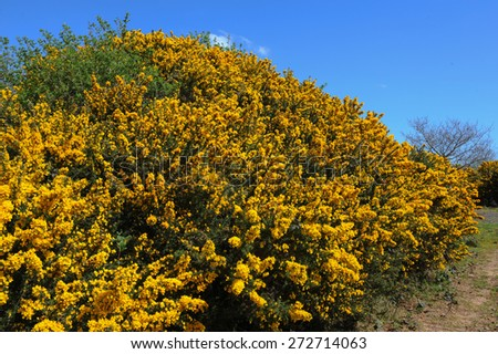 Bright Yellow Flowers of Gorse (Ulex) in the Countryside of Devon, England, UK - stock photo