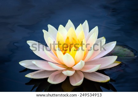 bright yellow lotus - stock photo