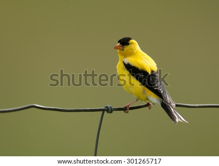 Bright yellow male American goldfinch (spinus tristis) in its summer breeding plumage perched on a wire fence, isolated against background - stock photo