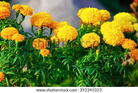 Bright yellow marigold flowers with green leaves in the garden. Shallow depth of field. Selective focus. - stock photo