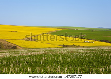 Bright yellow rapeseed fields along the Garden Route, N2, South Africa. Rapeseed is used to make canola oil. - stock photo