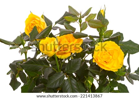 Bright yellow roses isolated on white background - stock photo