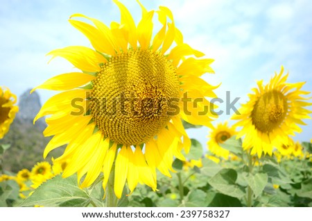 Bright yellow sunflowers. - stock photo
