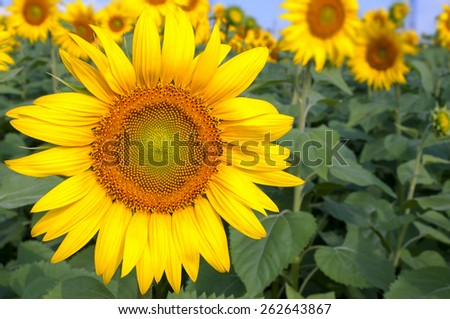 Bright yellow sunflowers on blurry sunflowers field background - stock photo
