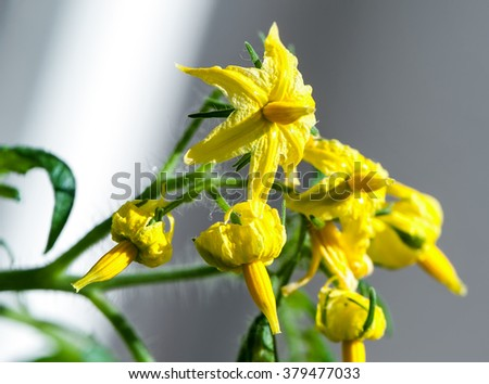 bright yellow tomato flowers close-up on daylight  (selective  focus)  - stock photo