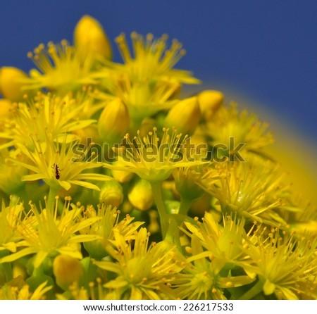 Bright yellow wild flowers of aeonium undulatum - stock photo