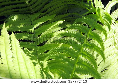 Bright young male fern fronds (Dryopteris filix-mas) in the summer garden - stock photo
