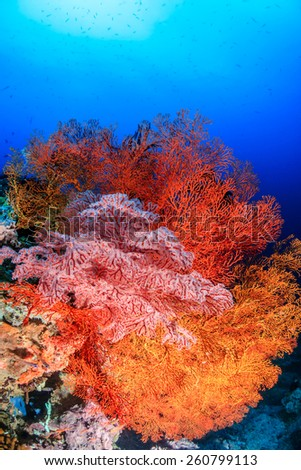 Brightly colored sea fans and soft corals on a tropical reef - stock photo