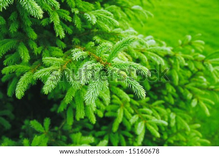 Brightly green prickly branches of a fur-tree or pine - stock photo