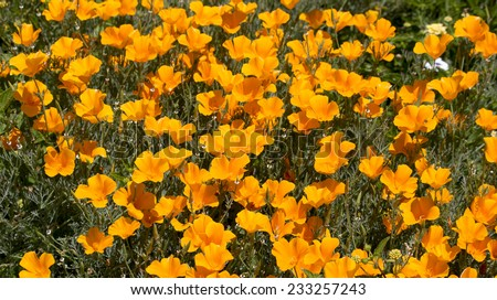 Brilliant buttercup yellow flowers of Eschscholzia californica (Californian poppy,golden poppy, California sunlight, cup of gold)  a species of flowering plant in  family Papaveraceae  are bright. - stock photo