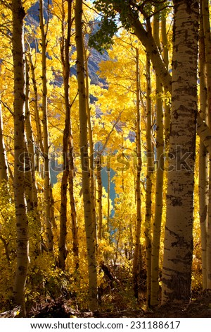 Brilliant fall colors in an Aspen forest at Lundy Lake, Northern California - stock photo