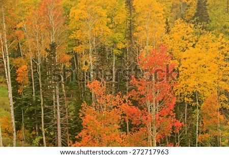 Brilliant fall colors in the Utah mountains, USA. - stock photo