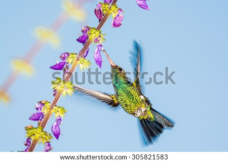 Brilliant Green Hummingbird sucking nectar with blurry wings - stock photo