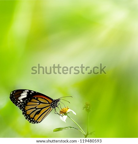 Brilliant swallowtail butterfly feeding on flowers - stock photo