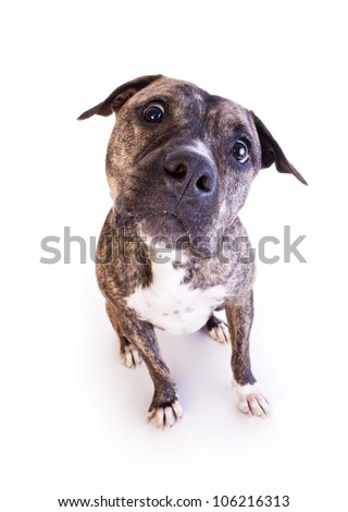 Brindle American Staffordshire Terrier sitting isolated on white background - stock photo