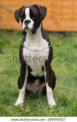 Brindle boxer dog sitting down - stock photo