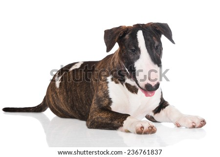 brindle english bull terrier puppy - stock photo