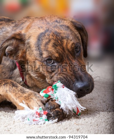 Brindled hound chewing on a Christmas toy - stock photo