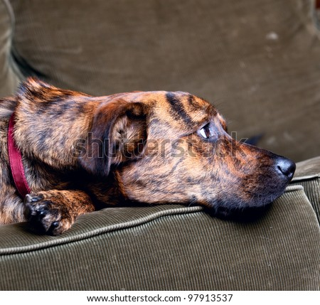 Brindled Plott hound at home - stock photo