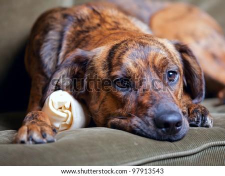 Brindled Plott hound at home - stock photo