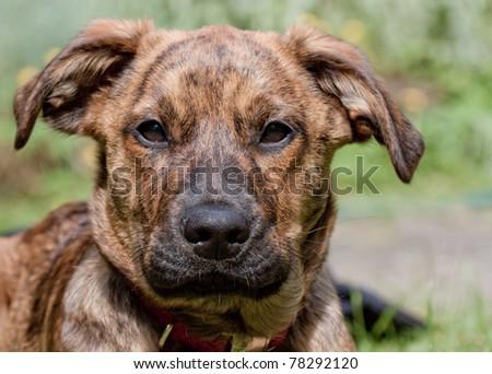Brindled Plott hound sitting in the sun - stock photo
