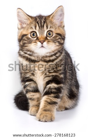 Britan kitten sitting and looking at the camera (isolated on white) - stock photo
