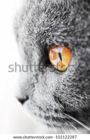 British blue cat detail - stock photo