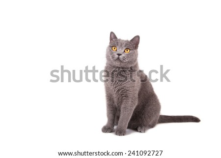 British blue cat on a white background. - stock photo