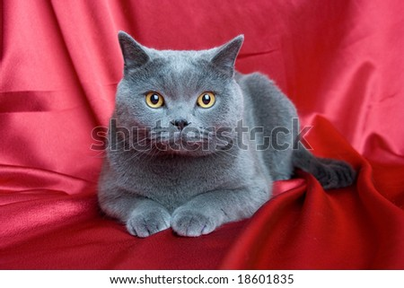 british blue cat on red background - stock photo