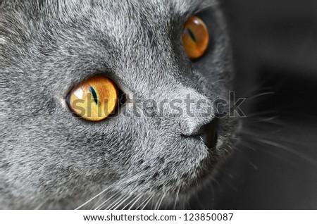 British blue shorthair cat detail, on a dark background - stock photo