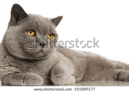 British blue shorthair cat on white background with reflections. - stock photo