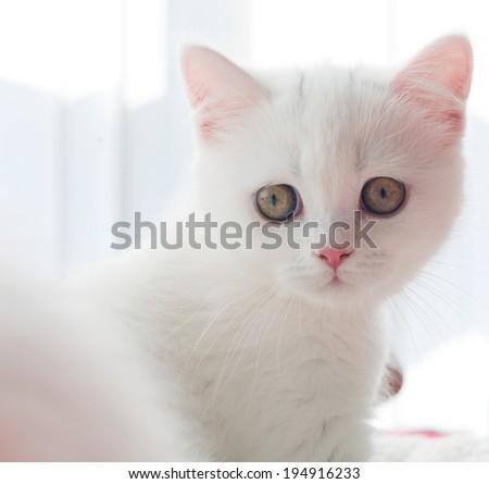 British breed kitten - stock photo