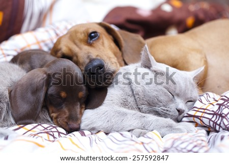 British cat  and dog dachshund - stock photo
