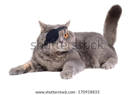 British cat dressing in caribbean pirate costume with eye patch - stock photo