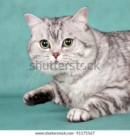 British cat head on green background - stock photo