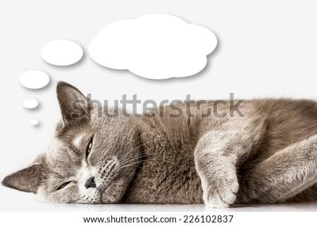 British cat is thinking on white background - stock photo