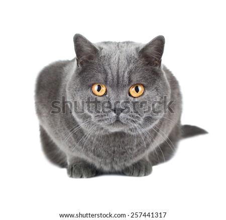 British cat isolated on white - stock photo