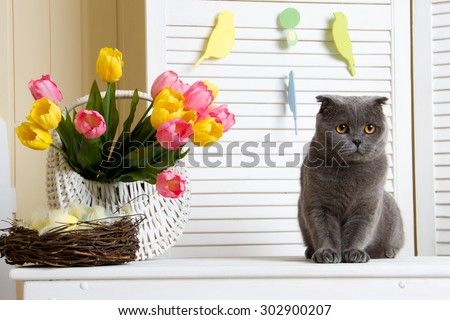 British cat lies with tulips on a light background - stock photo