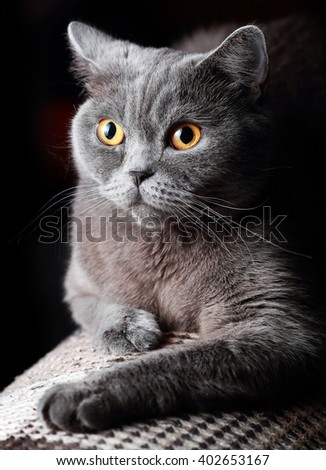 British cat on a black background - stock photo