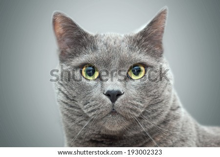 British cat portrait . Selective focus. - stock photo