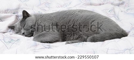 British cat sleeping on bed - stock photo