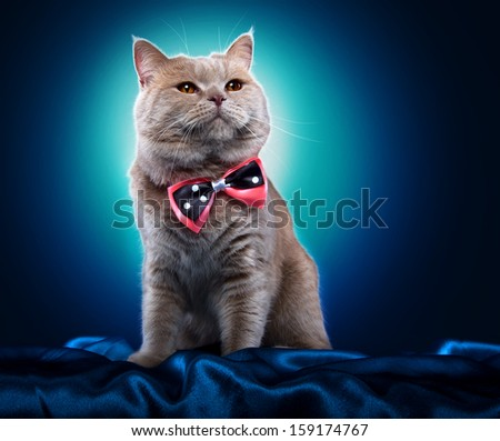 British cat with a bow-tie - stock photo