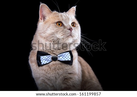 British cat with a bow-tie. - stock photo