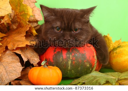 British chocolate kitten with a pumpkin and autumn leaves. - stock photo