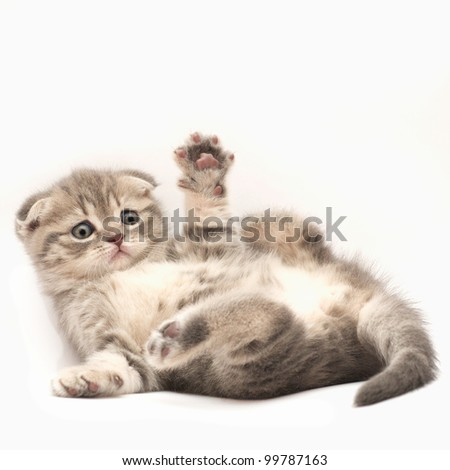 British Fold kittens - stock photo