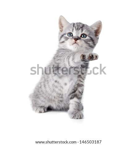 british gray kitten gives paw - stock photo